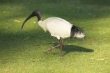 Animal;animals;australia;australian;Australian-White-Ibis;Avian;Beak;Bird;Black_necked-Ibis;Close-up;currumbin;Fauna;Feather;Habitat;indigenous;Natural;Nature;Oceania;Ornithology;Oz;Plumage;Portrait;queensland;unusual;White-Ibis;wild;Wildlife;Wing;Australian-Ibis;Threskiornis-molucca