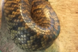 Animal;Animals;australia;australian;Dangerous;Nature;pattern;patterns;Predator;Predators;queensland;Reptile;Reptiles;scale;scales;Snake;Snakes;Wild;Wildlife;Zoology