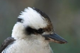 Animal;animals;australasian;australia;australian;Avian;beak;beaks;Bird;birds;Brown-Kingfisher;Close-up;cookaburra;cookaburras;Dacelo-gigas;Dacelo-novaeguineae;Fauna;Feather;Giant-Kingfisher;Habitat;kingfisher;kingfishers;kookaburra;kookaburras;Laughing-Jackass;Laughing-Jackasses;Laughing-Kingfisher;laughing-kookaburra;laughing-kookaburras;Natural;Nature;Oceania;Ornithology;Oz;Perch;Perching;Plumage;Portrait;wild;Wildlife;Wing
