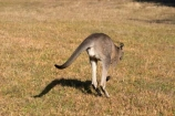 Animal;Animals;australasia;Australia;australian;boing;boinging;eastern-gray-kangaroo;eastern-gray-kangaroos;eastern-grey-kangaroo;eastern-grey-kangaroos;grampian;grampian-national-park;grampians;grampians-national-park;gray-kangaroo;gray-kangaroos;Grey-Kangaroo;Grey-Kangaroos;halls-gap;head;heads;hop;hopper;hopping;hops;jump;jumper;jumping;jumps;Kangaroo;Kangaroos;Macropodidae;Macropus-giganteus;Mammal;Mammals;Marsupial;Marsupials;marsupium;Nature;portrait;portraits;pouch;skippy;victoria;Wild;Wildlife;Zoology
