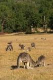 Animal;Animals;australasia;Australia;australian;eastern-gray-kangaroo;eastern-gray-kangaroos;eastern-grey-kangaroo;eastern-grey-kangaroos;father;grampian;grampian-national-park;grampians;grampians-national-park;gray-kangaroo;gray-kangaroos;Grey-Kangaroo;Grey-Kangaroos;halls-gap;head;heads;Kangaroo;Kangaroos;Macropodidae;Macropus-giganteus;male;Mammal;Mammals;Marsupial;Marsupials;marsupium;Nature;portrait;portraits;pouch;skippy;victoria;Wild;Wildlife;Zoology