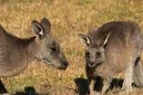 Animal;Animals;australasia;Australia;australian;eastern-gray-kangaroo;eastern-gray-kangaroos;eastern-grey-kangaroo;eastern-grey-kangaroos;grampian;grampian-national-park;grampians;grampians-national-park;gray-kangaroo;gray-kangaroos;Grey-Kangaroo;Grey-Kangaroos;halls-gap;head;heads;Kangaroo;Kangaroos;Macropodidae;Macropus-giganteus;Mammal;Mammals;Marsupial;Marsupials;marsupium;Nature;portrait;portraits;pouch;skippy;victoria;Wild;Wildlife;young;Zoology