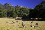 Animal;Animals;australasia;Australia;australian;eastern-gray-kangaroo;eastern-gray-kangaroos;eastern-grey-kangaroo;eastern-grey-kangaroos;grampian;grampian-national-park;grampians;grampians-national-park;gray-kangaroo;gray-kangaroos;Grey-Kangaroo;Grey-Kangaroos;halls-gap;head;heads;Kangaroo;Kangaroos;Macropodidae;Macropus-giganteus;Mammal;Mammals;Marsupial;Marsupials;marsupium;Nature;portrait;portraits;pouch;skippy;victoria;Wild;Wildlife;Zoology