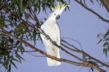 animal;animals;australasian;Australia;australian;beak;bird;birds;cockatoo;cockatoos;crested;endemic;feather;feathers;Grampians-National-Park;Halls-Gap;indigenous;native;sulfer;sulfur;sulfur-crested-cockatoo;sydney;Victoria;wildlife