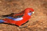 Animal;animals;Ara;australasia;australia;australian;Avian;Beak;Bird;birds;Blue;Bright;Close-up;Color;Colored;Colorful;Colors;Colour;Coloured;Colourful;Colours;crimson-rosella;Crimson-Rosellas;Exotic;Fauna;Feather;Habitat;mount-buffalo-national-park;mt-buffalo-national-park;mt.-buffalo-national-park;Natural;Nature;Oceania;Ornithology;Oz;Parrot;parrots;Perch;Perching;Platycercus-elegans;Plumage;Portrait;Red;rosella;rosellas;victoria;Vivid;wild;Wildlife;Wing