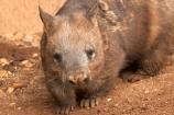 Animal;Animals;Australia;australianaustralasia;Lasiorhinus-latrifrons;Mammal;Mammals;marsupial;marsupials;melbourne;Nature;Southern-Hairy-Nosed-Wombat;Southern-Hairy_Nosed-Wombat;victoria;Wild;Wildlife;wombat;wombats;Zoology