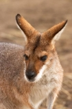 Animal;Animals;australasia;Australia;australian;Macropus-rufogriseus;Mammal;Mammals;marsupial;Marsupials;Nature;portrait;portraits;Red-necked-Wallabies;Red-necked-Wallaby;Red_necked-Wallabies;Red_necked-Wallaby;skippy;victoria;Wild;Wildlife;Zoology