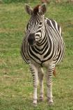 africa;african;animal;animals;australasian;Australia;australian;black;black-and-white;equine;Equus-burchelli;game-park;game-parks;game-viewing;genus-equus;grasslands;mammal;Melbourne;mmmals;park;parks;pattern;patterns;plain;plains;safari;safaris;savana;savanah;savanna;savannah;stripe;striped;stripes;stripped;Victoria;werribee;Werribee-Open-Range-Zoo;white;wild;wildlife;zebra;zebras;zoo;zoology;zoos