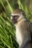 africa;african;animal;animals;australasian;Australia;australian;Cercopithecus-aethiops;cute;game-park;game-parks;game-viewing;green-monkey;mamal;mamals;mammal;mammals;Melbourne;monkey;monkeys;park;parks;safari;safaris;Victoria;werribee;Werribee-Open-Range-Zoo;wild;wildlife;zoo;zoos