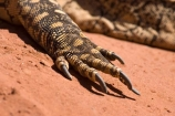Alice-Springs;animal;animals;Australasia;Australia;Australian;Australian-Outback;Central-Australia;claw;claws;feet;foot;lizard;lizards;Monitor-Lizard;Monitor-Lizards;N.T.;Northern-Territory;NT;Outback;Perentie;reptile;reptiles;scale;scales;Varanus-giganteus