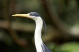 Animal;animals;Ardea-picata;Ardeidae;Australasian;Australia;Australian;Avian;Beak;bird;bird-watching;bird_watching;birds;Breakfast-with-the-Birds;eco-tourism;eco_tourism;ecotourism;Fauna;Natural;Nature;North-Queensland;Ornithology;Pied-Heron;Pied-Herons;Port-Douglas;Qld;Queensland;The-Rainforest-Habitat-Wildlife-Sanctuary;wild;Wildlife