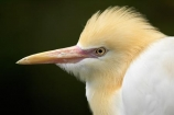 Animal;animals;Ardea-ibis;Ardeidae;Australasian;Australia;Australian;Avian;Beak;bird;bird-watching;bird_watching;birds;Breakfast-with-the-Birds;Cattle-Egret;Ciconiiformes;eco-tourism;eco_tourism;ecotourism;egrets;Fauna;Natural;Nature;North-Queensland;Ornithology;Port-Douglas;Qld;Queensland;The-Rainforest-Habitat-Wildlife-Sanctuary;wild;Wildlife