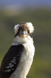 Animal;animals;Australasian;Australia;australian;Avian;Beak;Bird;birds;Brown-Kingfisher;Close-up;cookaburra;cookaburras;Dacelo-gigas;Dacelo-novaeguineae;Fauna;Feather;Giant-Kingfisher;Habitat;kingfisher;kingfishers;kookaburra;kookaburras;Laughing-Jackass;Laughing-Jackasses;Laughing-Kingfisher;laughing-kookaburra;laughing-kookaburras;N.S.W.;Nambucca-Head;Nambucca-Heads;Natural;Nature;New-South-Wales;NSW;Oceania;Ornithology;Oz;Perch;Perching;Plumage;Portrait;wild;Wildlife