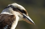 Animal;animals;Australasian;Australia;australian;Avian;Beak;Bird;birds;Brown-Kingfisher;Close-up;cookaburra;cookaburras;Dacelo-gigas;Dacelo-novaeguineae;Fauna;Feather;Giant-Kingfisher;Habitat;kingfisher;kingfishers;kookaburra;kookaburras;Laughing-Jackass;Laughing-Jackasses;Laughing-Kingfisher;laughing-kookaburra;laughing-kookaburras;N.S.W.;Nambucca-Head;Nambucca-Heads;Natural;Nature;New-South-Wales;NSW;Oceania;Ornithology;Oz;Perch;Perching;Plumage;Portrait;wild;Wildlife