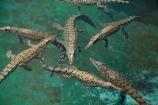 Australasian;Australia;Australian;croc;Crocodylus-Porosus;Crocosaurus-Cove;crocs;Darwin;N.T.;Northern-Territory;NT;reptile;reptiles;Saltwater-Crocodile;saltwater-crocodiles;salty;Top-End