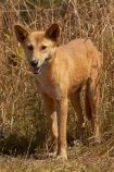 Australia;Australian;Australian-Dingo;Canidae;Canis-lupus-dingo;Carnivora;carnivore;Dingo;Dingoes;dog;dogs;Gagadju;Kakadu;Kakadu-N.P.;Kakadu-National-Park;Kakadu-NP;mammal;mammals;N.T.;national-parks;Northern-Territory;NT;predator;primative-dog;primative-dogs;Top-End;UN-world-heritage-area;UN-world-heritage-site;UNESCO-World-Heritage-area;UNESCO-World-Heritage-Site;united-nations-world-heritage-area;united-nations-world-heritage-site;Warrigal;wildlife;world-heritage;world-heritage-area;world-heritage-areas;World-Heritage-Park;World-Heritage-site;World-Heritage-Sites