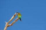 Animal;animals;Australia;Australian;Avian;Beak;bee-eater;bee-eaters;Bee_eater;Bee_eaters;bird;bird-watching;bird_watching;birds;eco-tourism;eco_tourism;ecotourism;Fauna;Gagadju;Kakadu;Kakadu-N.P.;Kakadu-National-Park;Kakadu-NP;Merops-ornatus;N.T.;national-parks;Natural;Nature;Northern-Territory;NT;Ornithology;perch;perches;perching;Rainbow-Bee_eater;Rainbow-Bee_eaters;Top-End;UN-world-heritage-area;UN-world-heritage-site;UNESCO-World-Heritage-area;UNESCO-World-Heritage-Site;united-nations-world-heritage-area;united-nations-world-heritage-site;wild;wildlife;world-heritage;world-heritage-area;world-heritage-areas;World-Heritage-Park;World-Heritage-site;World-Heritage-Sites;Yellow-Water;Yellow-Water-Billabong;Yellow-Water-Wetland;Yellow-Water-Wetlands