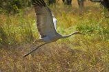 Animal;animals;Australasia;Australia;Australian-Crane;Avian;Beak;bird;bird-watching;bird_watching;birds;Brolga;Brolgas;crane-family;eco-tourism;eco_tourism;ecotourism;Fauna;flight;fly;flying;Grus-rubicunda;N.T.;Native-Companion;Natural;Nature;Northern-Territory;NT;Ornithology;Top-End;Victoria-Highway;wild;wildlife;Wing