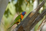 Animal;animals;Australasia;Australia;Avian;bird;bird-watching;bird_watching;birds;eco-tourism;eco_tourism;ecotourism;Fauna;Katherine;Katherine-Gorge;Katherine-Gorge-National-Park;Lorikeet;Lorikeets;N.T.;national-park;national-parks;Natural;Nature;Nitmiluk-N.P.;Nitmiluk-National-Park;Nitmiluk-NP;Northern-Territory;NT;Ornithology;Rainbow-Lorikeet;Rainbow-Lorikeets;rubritorquis;Top-End;Trichoglossus-haematodus;Trichoglossus-haematodus-rubritorquis;wild;Wildlife