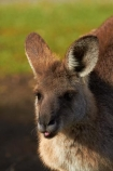 Animal;Animals;Aus;australasia;Australia;Australian;austrlian;ear;ears;eastern-gray-kangaroo;eastern-gray-kangaroos;gray-kangaroo;gray-kangaroos;Grey-Kangaroo;Grey-Kangaroos;head;heads;Kangaroo;Kangaroos;Macropus-giganteus;Mammal;Mammals;Marsupial;Marsupials;Nature;portrait;portraits;QLD;Queensland;skippy;Wild;Wildlife;Zoology