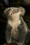 Animal;Animals;Aus;Australia;australian;climb;climbs;Close-up;Close_up;currumbin;currumbin-wildlife-sanctuary;eucalyptus;face;fur;furry;gold-coast;gum-tree;Koala;Koala-Bear;Koalas;Mammal;Mammals;Marsupial;Marsupials;Nature;Oceania;Phascolarctos;Phascolarctos-cinereus;QLD;Queensland;tree;trees;Wild;Wildlife;zoo;Zoology