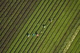 aerial;aerial-image;aerial-images;aerial-photo;aerial-photograph;aerial-photographs;aerial-photography;aerial-photos;aerial-view;aerial-views;aerials;agricultural;agriculture;Ardmore;Auckland;Auckland-region;country;countryside;crop;crops;farm;farming;farmland;farms;field;fields;horticulture;market-garden;market-gardens;meadow;meadows;N.I.;N.Z.;New-Zealand;NI;North-Is;North-Island;NZ;paddock;paddocks;pasture;pastures;picker;pickers;rural;South-Auckland;vegetable-garden;vegetable-gardens;worker;workers