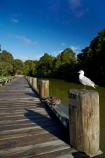 Auckland;Auckland-Region;bird;birds;Black_billed-gull;Black_billed-gulls;boardwalks;Larus-bulleri;Mahurangi-River;Mahurangi-River-Boardwalk;N.Z.;New-Zealand;North-Auckland;North-Is.;North-Island;Nth-Is;NZ;river;rivers;seagull;seagulls;Warkworth;Warkworth-Boardwalk