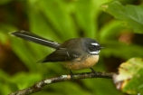 Animal;animals;Auckland;avian;bird;bird-spotting;bird-watching;bird_watching;birds;eco-tourism;eco_tourism;ecotourism;fantail;fantails;Fauna;forest-bird;Hunua-Falls-Regional-Park;Hunua-Ranges;Hunua-Ranges-Regional-Park;insectivorous-bird;insectivorous-birds;N.Z.;Natural;Nature;New-Zealand;New-Zealand-fantail;North-Is.;North-Island;Nth-Is;NZ;NZ-fantail;Ornithology;Rhipidura-fuliginosa;wild;wildlife