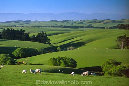 agriculture;Balclutha;farm;farming;farmland;farms;field;fields;grass;green;lamb;lambs;lush;meadow;meadows;n.z.;New-Zealand;nz;paddock;paddocks;pasture;pastures;plain;plains;rural;sheep;South-Otago;Southland;spring;verdant