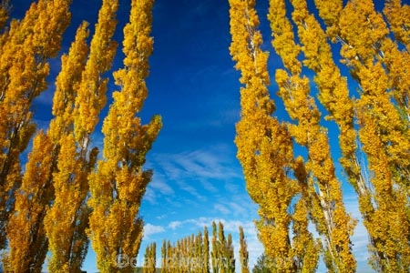 autuminal;autumn;autumn-colour;autumn-colours;autumnal;Clutha-District;color;colors;colour;colours;deciduous;fall;gold;golden;leaf;leaves;Lovells-Flat;Lovells-Flat;N.Z.;New-Zealand;NZ;Otago;poplar;poplar-tree;poplar-trees;poplars;Robson-Rd;Robson-Road;row;S.I.;season;seasonal;seasons;SI;South-Is;South-Island;South-Otago;Sth-Is;tree;trees;yellow