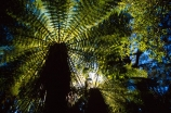canopy;Catlins;fern;forest;frond;fronds;green;icon;icons;n.z.;native;nature;New-Zealand;nz;radiate;South-Island;Southern-Scenic-Route;symbol;symbols;Tree-Fern;Tree-Ferns