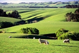 agriculture;Balclutha;farm;farming;farmland;farms;field;fields;grass;green;lamb;lambs;lush;meadow;meadows;n.z.;New-Zealand;nz;paddock;paddocks;pasture;pastures;plain;plains;rural;sheep;South-Otago;Southland;spring;verdant