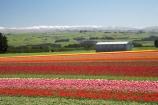 bloom;blooming;blooms;color;colorful;colors;colour;colourful;colours;country;countryside;cultivation;farm;farming;farmland;farms;field;fields;flora;floral;flower;flowers;fresh;garden;grow;growing;growth;horticulture;N.Z.;New-Zealand;NZ;paddock;paddocks;renew;rural;S.I.;season;seasonal;seasons;SI;South-Is.;South-Island;spring;springtime;Tapanui;tulip;tulip-bulb-growing;tulip-field;Tulip-Fields;Tulipa-sp.;tulips;West-Otago