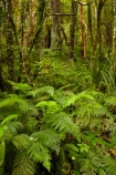 beautiful;beauty;bush;Catlins;Catlins-District;Catlins-Region;cyathea;endemic;fern;fern-frond;fern-fronds;ferns;forest;forests;frond;fronds;green;N.Z.;native;native-bush;natives;natural;nature;New-Zealand;NZ;Otago;plant;plants;rain-forest;rain-forests;rain_forest;rain_forests;rainforest;rainforests;S.I.;scene;scenic;SI;South-Is;South-Island;South-Otago;Sth-Is;Sth-Otago;tree;trees;woods