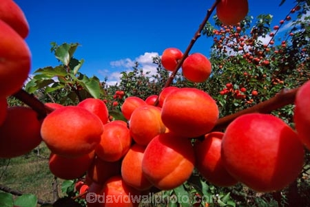 apricot;color;colour;crop;farm;fruit;grow;growing;horticulture;juicy;leaf;leaves;lush;orange;orchards;red;row;rows;rural;stone-fruit
