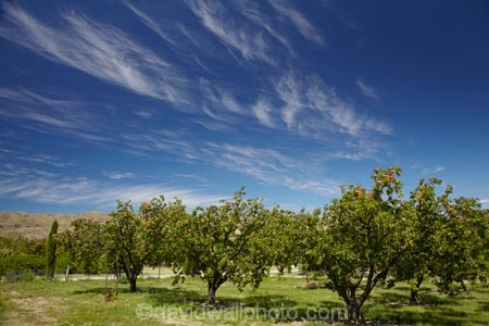 apricot;apricot-orchard;apricot-orchards;apricot-tree;apricot-trees;apricots;Bannockburn;Central-Otago;cirrus-cloud;cirrus-clouds;cloud;clouds;country;countryside;crop;crops;farm;farming;farmland;farms;field;fruit;fruit-tree;fruit-trees;horticulture;N.Z.;New-Zealand;NZ;orchard;orchards;row;rows;rural;S.I.;SI;South-Is.;South-Island;tree;trees