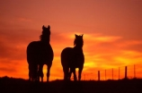 horse;horses;silhouette;silhouettes;silhouetted;sundown;oranges;yellow;colour;colours;color;colors;sky;setting;fence;fenceline;curious;equine,mammal;outline;outlines;outlined