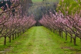 Alexandra;bloom;blooming;blooms;blossom;blossoming;blossoms;Central-Otago;crop;Earnscleugh;farm;farming;farms;flower;flowering;flowers;fruit-tree;fruit-trees;horticulture;N.Z.;New-Zealand;NZ;orchard;orchards;Otago;pink;pink-blossom;row;rows;rural;S.I.;season;seasonal;seasons;SI;South-Is;South-Island;spring;spring-time;springtime;Sth-Is