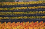 agricultural;agriculture;autuminal;autumn;autumn-colour;autumn-colours;autumnal;Central-Otago;central-otago-vineyard;central-otago-vineyards;central-otago-wineries;central-otago-winery;color;colors;colour;colours;country;countryside;Cromwell;crop;crops;cultivation;deciduous;fall;farm;farming;farmland;farms;field;fields;grape;grapes;grapevine;horticulture;leaf;leaves;N.Z.;new-zealand;NZ;orange;row;rows;rural;S.I.;season;seasonal;seasons;SI;South-Island;tree;trees;vine;vines;vineyard;vineyards;vintage;wineage;wineries;winery;wines