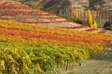 agricultural;agriculture;autuminal;autumn;autumn-colour;autumn-colours;autumnal;Bannockburn;Central-Otago;central-otago-vineyard;central-otago-vineyards;central-otago-wineries;central-otago-winery;color;colors;colour;colours;country;countryside;cromwell;crop;crops;cultivation;deciduous;fall;farm;farming;farmland;farms;field;fields;gold;golden;grape;grapes;grapevine;horticulture;leaf;leaves;Mt-Difficulty-Vineyard;N.Z.;New-Zealand;NZ;orange;Otago;row;rows;rural;S.I.;season;seasonal;seasons;SI;South-Island;tree;trees;vine;vines;vineyard;vineyards;vintage;wine;wineage;wineries;winery;wines;yellow