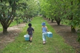 boy;boys;Central-Otago;Cherries;cherry;cherry-tree;cherry-trees;child;children;country;countryside;Cromwell;crop;crops;farm;farming;farms;food;fresh;fruit;fruits;girl;girls;horticulture;leaves;N.Z.;New-Zealand;NZ;orchard;orchards;pick-your-own;pick_your_own;produce;ripe;Ripponvale;rural;S.I.;SI;South-Island;stone-fruit;stone_fruit;summer-fruit;tree;trees