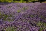 Briar-Dell;Briar-Dell-Lavender-Farm;Central-Otago;country;countryside;Cromwell;crop;crops;farm;farming;farmland;farms;horticulture;Lamiaceae;Lavandula;lavender;lavender-farm;lavender-farms;lavenders;mauve;N.Z.;New-Zealand;NZ;Otago;purple;S.I.;SI;South-Is.;South-Island;violet