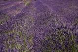 Central-Otago;country;countryside;Cromwell;crop;crops;farm;farming;farmland;farms;horticulture;Lamiaceae;Lavandula;lavender;lavender-farm;lavender-farms;lavenders;Lowburn;lowburn-lavender;lowburn-lavender-farm;lowburn-valley-lavender;lowburn-valley-lavender-farm;mauve;N.Z.;New-Zealand;NZ;Otago;purple;S.I.;SI;South-Is.;South-Island;violet