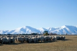 agricultural;agriculture;Central-Otago;country;countryside;farm;Farmer-Feeding;farming;farmland;farms;field;fields;hay;Kakanui-Mountains;Maniototo;meadow;meadows;N.Z.;New-Zealand;NZ;Otago;paddock;paddocks;pasture;pastures;Ranfurly;rural;S.I.;Sheep;SI;South-Island