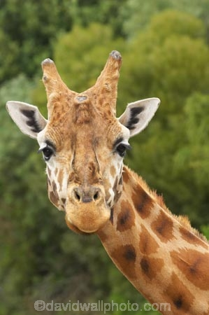 African;Baringo-Giraffe;Baringo-Giraffes;Canterbury;Christchurch;fauna;Giraffa-camelopardalis;Giraffa-camelopardalis-rothschildsi;Giraffidae;head;heads;long-neck;mammal;mammals;N.Z.;New-Zealand;Northern-Giraffe;Northern-Giraffes;NZ;Orana-Wildlife-Park;Rothschild-Giraffe;Rothschild-Giraffes;Rothschilds-Giraffe;Rothschilds-Giraffes;Rothschilds-Giraffe;Rothschilds-Giraffes;S.I;SI;South-Is;South-island;Ugandan-Giraffe;Ugandan-Giraffes;wildlife;wildlife-park;wildlife-parks;zoo;zoos