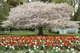 bloom;blooming;blooms;blossom;blossoming;blossoms;Botanic-Garden;Botanic-Gardens;Botanical-Garden;Botanical-Gardens;Canterbury;Christchurch;Christchurch-Botanic-Garden;Christchurch-Botanic-Gardens;Christchurch-Botanical-Garden;Christchurch-Botanical-Gardens;flower;flowers;fresh;grow;growth;N.Z.;New-Zealand;NZ;renew;S.I.;season;seasonal;seasons;SI;South-Is.;South-Island;spring;springtime;tulip;tulips