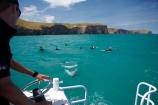 Akaroa-Harbor;Akaroa-Harbour;Canterbury;Cephalorhynchus;Cephalorhynchus-hectori;cetacean;cetaceans;dolphin;dolphins;Hectors-dolphin;Hectors-dolphin;mammal;mammals;marine-mammal;marine-mammals;N.Z.;New-Zealand;NZ;people;person;S.I.;SI;South-Is;South-Island;swim;swimming;tourism;tourist;tourists;wildlife