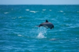 Akaroa;Akaroa-Harbor;Akaroa-Harbour;Banks-Peninsula;Canterbury;Cephalorhynchus;Cephalorhynchus-hectori;cetacean;cetaceans;dolphin;dolphins;Hectors-dolphin;Hectors-dolphin;mammal;mammals;marine-mammal;marine-mammals;N.Z.;New-Zealand;NZ;S.I.;South-Is;South-Island;wildlife