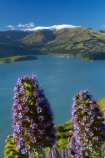 Banks-Peninsula;Boraginaceae;Canterbury;Chch;Christchurch;Diamond-Harbor;Diamond-Harbour;Echium;Echium-plant;Echium-plants;Echiums;Lyttelton-Harbour;N.Z.;New-Zealand;NZ;Port-Hills;Purau-Bay;purple-flower;purple-flowers;S.I.;seasonal;seasons;SI;South-Is;South-Island;spring;spring-time;Sth-Is