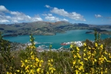 Banks-Peninsula;broom-plant;Canterbury;Chch;Christchurch;gondola-top-station;harbor;harbors;harbour;harbours;invasive-species;Lyttelton-Harbor;Lyttelton-Harbour;Mount-Cavendish;Mount-Cavendish-Gondola;Mt-Cavendish;Mt-Cavendish-Gondola;N.Z.;New-Zealand;noxious-weed;NZ;pest;Port-Hills;S.I.;SI;South-Is;South-Island;Sth-Is;top-station;yellow-flower;yellow-flowers